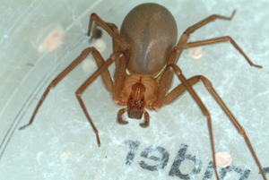 Kendale Lakes Brown Recluse